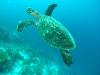 Seeschildkröte - Malediven